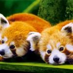 Deux Pandaranols rouge